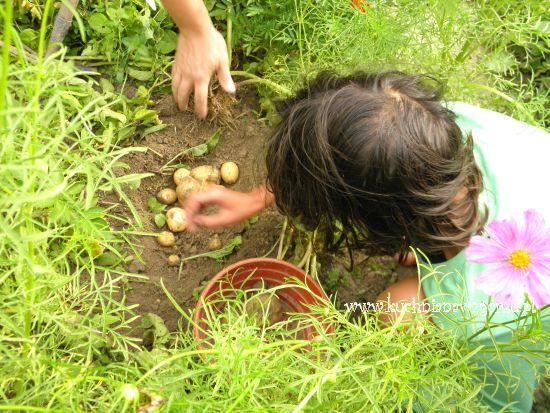pierwsze wyhodowane ziemniaki