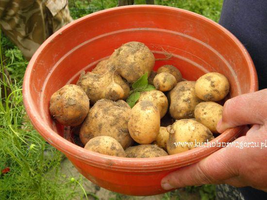 pierwsze zebrane ziemniaki