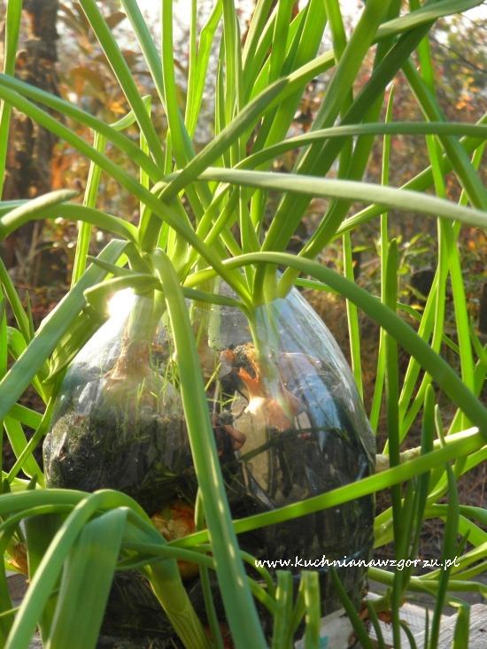 cebulka zielona